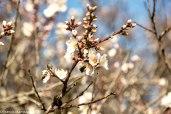 Amandier en fleurs © Francis Manguy