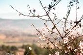 Amandier en fleur dans le Luberon © Francis Manguy
