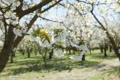 Cerisiers - © Francis Manguy
